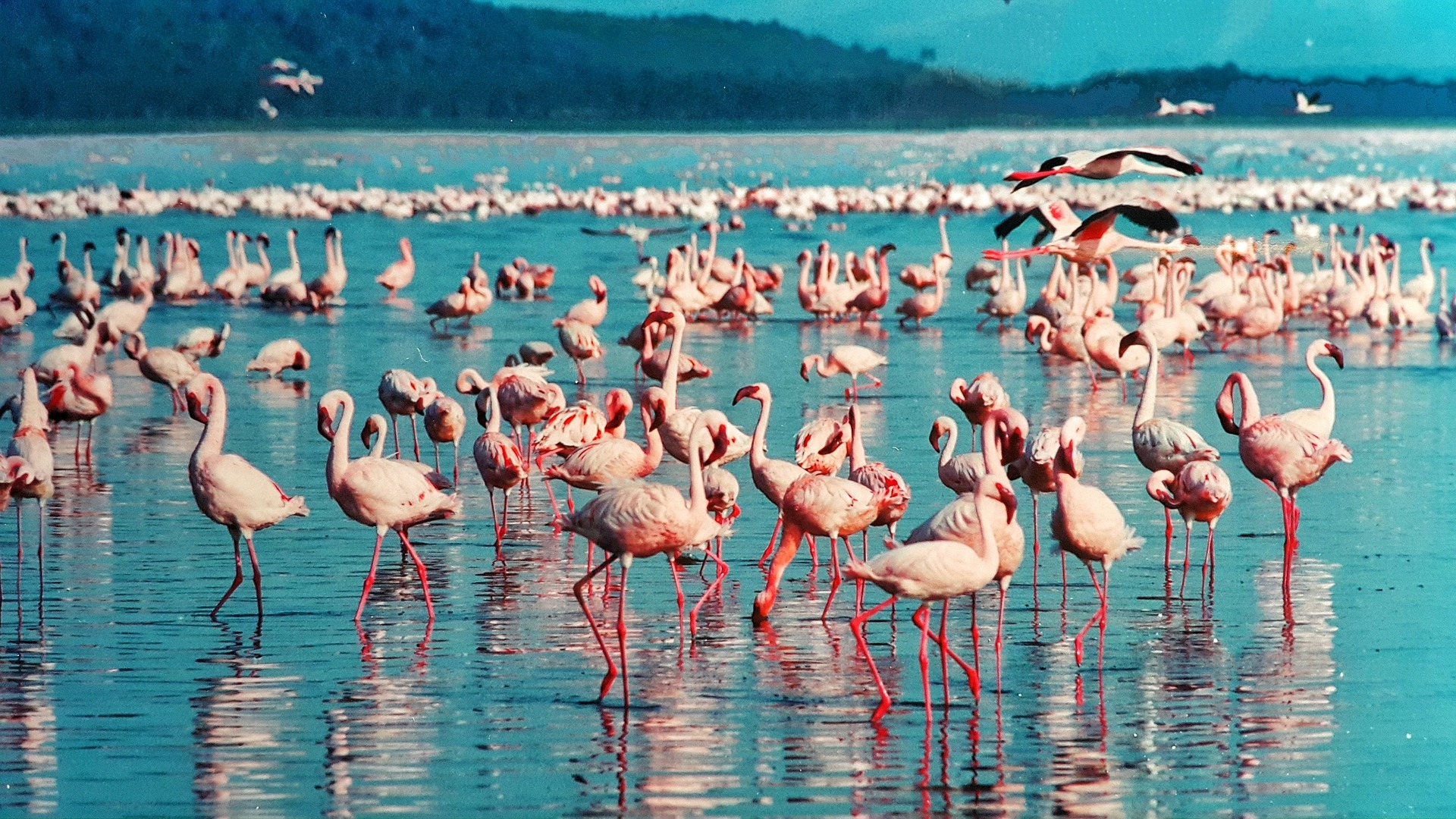 kenya, fenicotteri rosa, flamingo